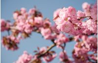pink sakura flowers on a twig. lovely spring background of cherry blossom against the blue sky