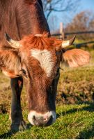 Portrait of rufous cow in autumnal morning light. lovely everyday episode of rural life