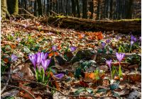 purple crocus flowers on meadow among foliage and green grass. sunny day in forest. beautiful springtime nature. low viewpoint
