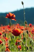 red poppy flowers in the field. beautiful springtime scenery in evening. lovely nature background.