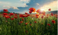 red poppy flowers in the field. beautiful springtime scenery at sunset in mountains. lovely nature background.