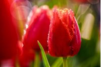 flower; tulip; red; nature; close; up; garden; grass; macro; bokeh; beautiful; spring; green; beauty; leaf; flora; natural; romantick; petal; background; blossom; nature; bloom; fresh; yellow; colorful; floral; close-up; blur; outdoor; color; blurred