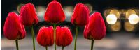 few red tulips on dark background with bokeh blurs