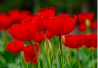 red tulips with dew drops on green blurred background of spring garden