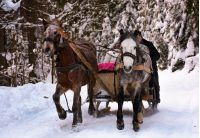 riding two horse slate in snowy forest. fun pastime and happy moments of winter season