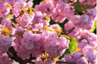 sakura blossom. beautiful natural background. tender pink flowers on the branch. wonderful sunny day in springtime