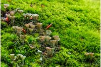 small mushrooms in the moss closeup. beautiful but poisonous nature