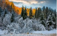 snowy spruce forest at gorgeous sunset. beautiful nature scenery in winter