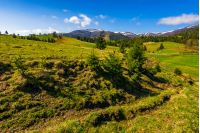carpathian mountain ridge with snowy peaks. Grassy alpine meadow with spruce forest in spring season. Fine weather with blue sky and some clouds on sunny day