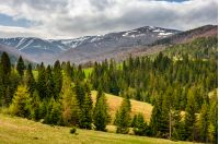 carpathian mountain peaks in snow above green meadow with spruce forest in spring season