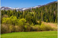 carpathian mountain peaks in snow. green rural meadow near the spruce forest in springtime