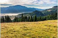 spruce forest on a meadow down the hill in foggy mountains of Romania