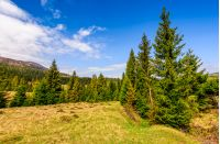 Spruce forest at mountain hillside. meadows with weathered grass on bright sunny day with blue sky and clouds. beautiful springtime landscape