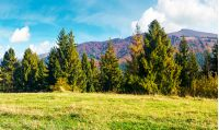 spruce forest on a grassy hill side meadow in mountains. wonderful warm weather with beautiful sky in autumn