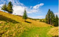 spruce forest on a hill side meadow in high mountains. beautiful late spring landscape on a sunny day
