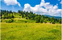 spruce forest on a hill side meadow in high mountains on a clear summer sunny day with some clouds