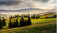 spruce forest on hills at foggy sunrise. gorgeous mountainous countryside landscape in summer
