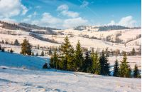 spruce forest on snowy hillside of rural area. lovely Carpathian countryside winter scenery