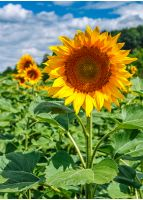sunflower closeup. agricultural field under the blue summer sky on the background;