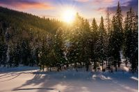 sunset in winter spruce forest. beautiful scenery with reddish sky