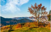 tree on hillside on autumn mountains. beautiful bright landscape with hazy mountain ridge in a distance