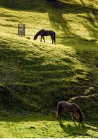 two horses grazing on the green gassy hillside. lovely scenery on farm outdoor