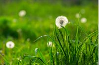 white dandelion on green grass blurry background in park