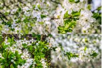 set of images with twig with white flowers of apple tree on a blurred background of green leaves