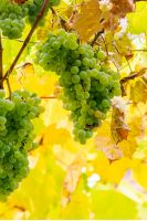 bunch of white grapes hanging on a vine in the vineyard abstract blurred background