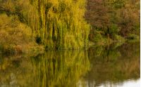 willow tree above the calm river in autumn. beautiful nature background