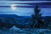 big tree in front of coniferous forest on top of a slope of mountain range at night in moon light