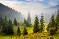 fir trees on hillside meadow with conifer forest in fog under the blue sky before sunrise