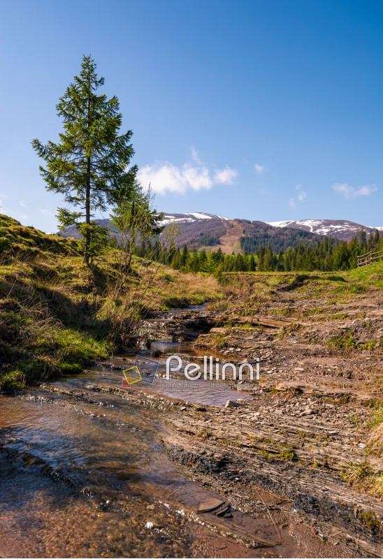 Carpathian alpine countryside in springtime. Spruce tree near the calm stream. forest at the foot of the mountain with snowy tops in the distance