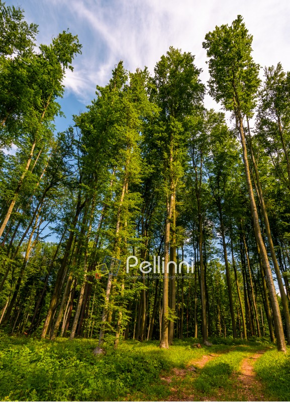 forest road among tall trees with green foliage. beautiful nature scenery in springtime