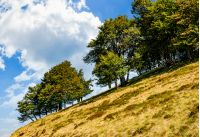 ancient beech forest on a grassy slope. beautiful early autumn scenery against a blue sky with huge cloud