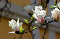 beautiful flowers of white magnolia. beautiful spring background