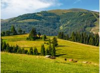 cows grazing near conifer forest in mountains. lovely rural landscape in summer