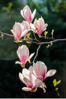 few magnolia flowers close up on a blurred background