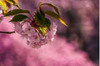 branch of delicate pink flowers of blossomed Japanese cherry trees on the blurred background of sakura garden