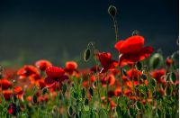 poppy flowers field. beautiful summer landscape at sunset